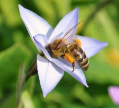 honey_bee_with_pollen_sac